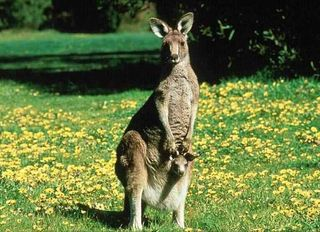 Kangaroo-joey background